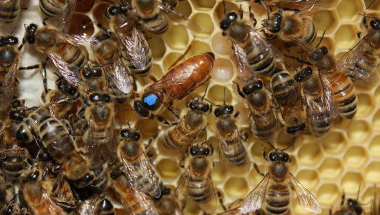 Matki pszczele Buckfast Royal